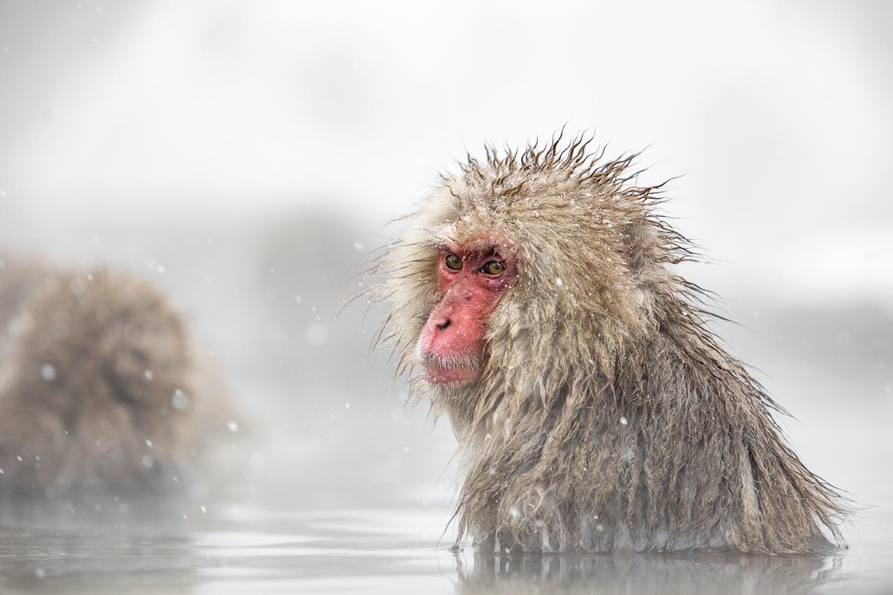 Esemplare di macaco giapponese. Credit: Massimo Battista.