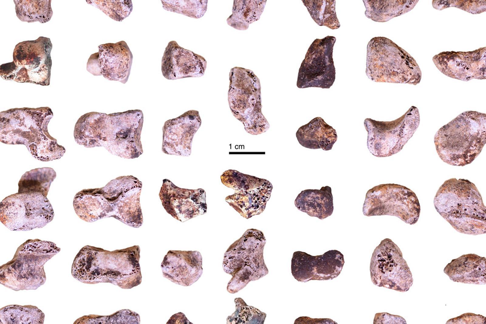 Frammenti delle ossa della mano di Homo naledi