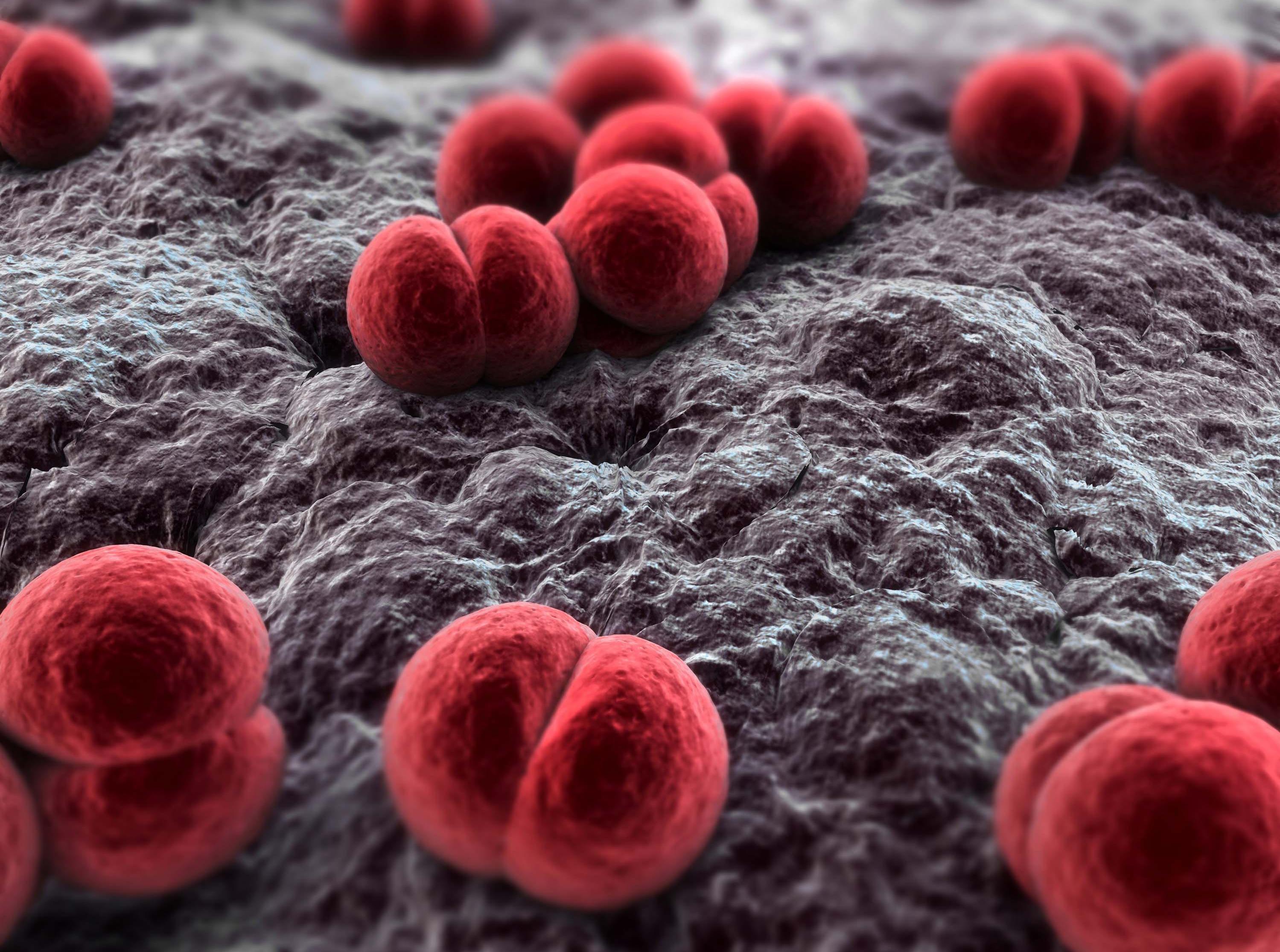 l batterio Neisseria meningìtidis.