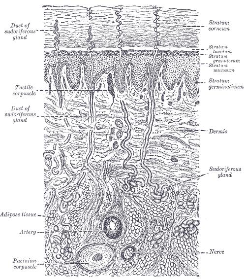 Una rappresentazione schematica della sezione della pelle. L'immagine è tratta dal manuale di anatomia del 1958 'Gray's Anatomy', Tavola 940. Licenza: Public Domain.