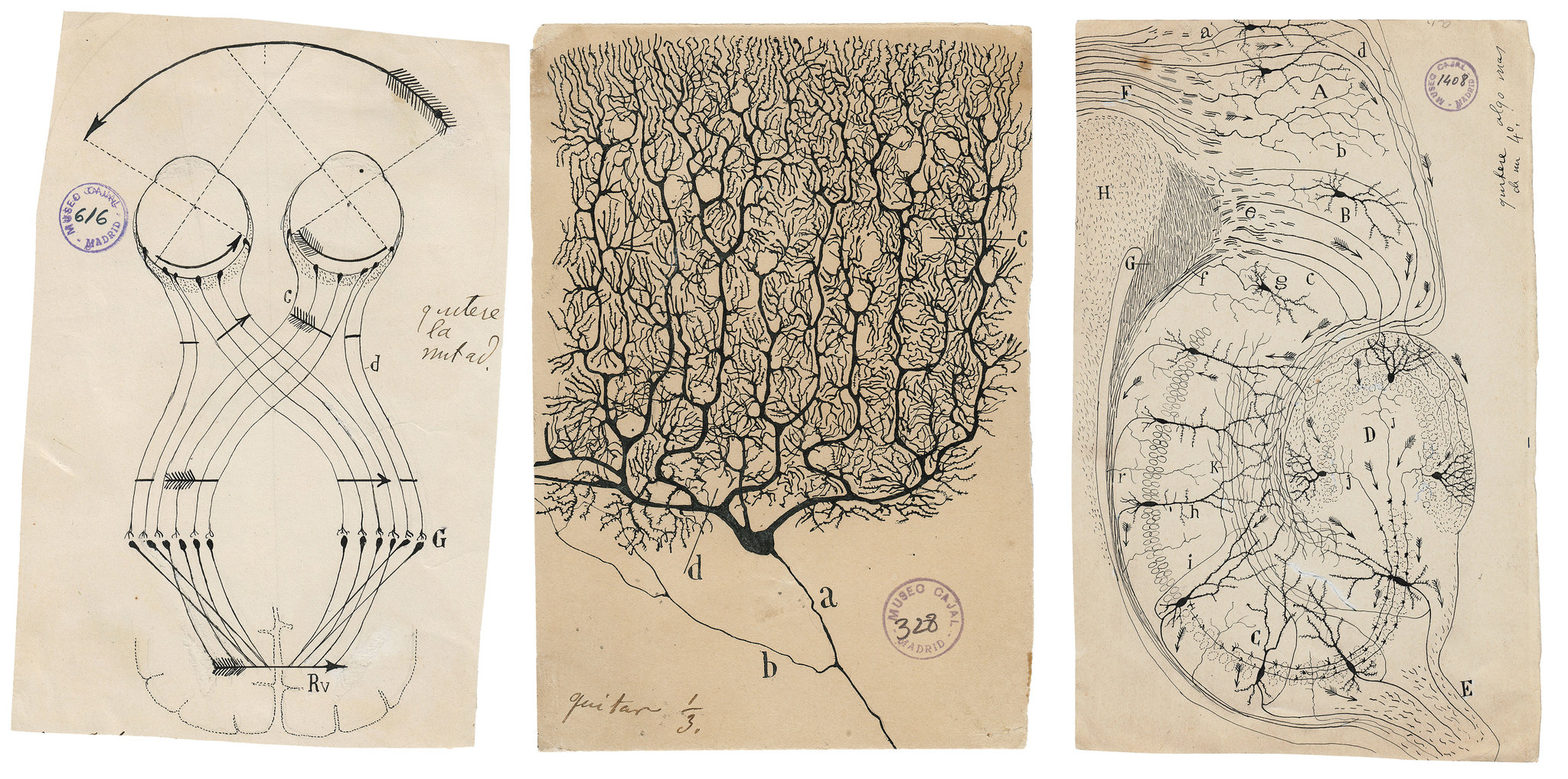 "Illustrazioni del neuroscienziato spagnolo Santiago Ramón y Cajal, tratte dal libro ""The Beautiful Brain""."