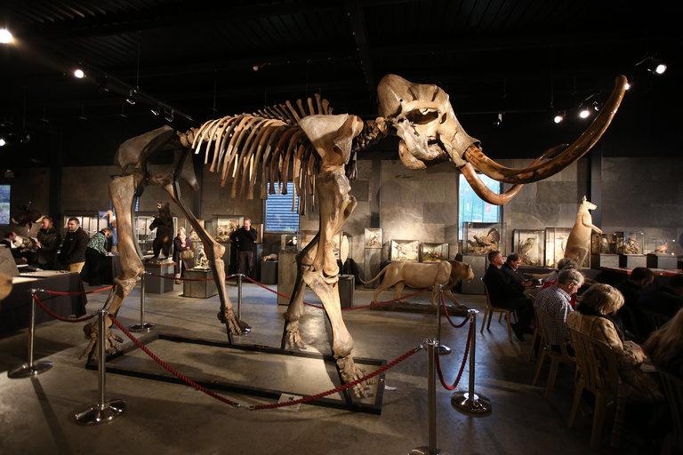 Lo scheletro di un mammuth lanoso in esposizione a Billingshurst, Inghilterra. Credit: Peter Macdiarmid, Getty Images.